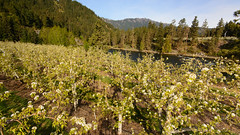 DSC_8475 (Stemilt) Tags: sunrise blossom pear bloom april riverstone autopole