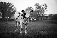 curious cow on green acre road (Jen MacNeill) Tags: blackandwhite bw rain fence cow pennsylvania farm pa bovine holstein