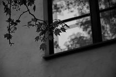 (Mikko Luntiala) Tags: blackandwhite bw reflection window suomi finland maple helsinki nikon may monochromatic monday treebranch mapleleaves vaahtera heijastus d90 ikkuna tekstuuri toukokuu oksa mustavalkoinen 2013 nikond90 maanantai afsdxnikkor18105mmf3556gedvr vaahteranlehdet monokromaattinen