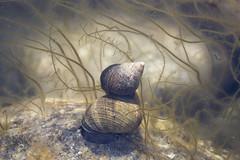 Skjell (Halvard Larssen) Tags: shells mussels skjell muslinger