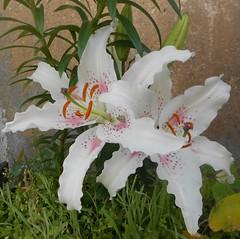 Lilium 'Muscadet' (ak.sky13) Tags: nature garden lily balcony jardin fragrant oriental hybrid lilium liliaceae muscadet
