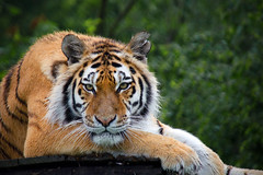 Tiger (Yvette-) Tags: amurtiger knowsleysafaripark