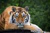 Tiger (Yvette-) Tags: amurtiger knowsleysafaripark