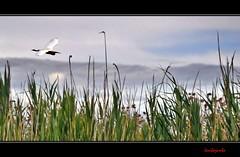 In barchino nella palude - With the boat in the swamp (8) in Explore Jul 4, 2014 #382 (Jambo Jambo) Tags: italy boat italia swamp tuscany toscana egret birdwatching palude grosseto maremma castiglionedellapescaia bonifica ramsar garzetta padule ximenes zoneumide barchino cacciafotografica diacciabotrona nikonflickraward nikond5000 jambojambo convenzionediramsar leopoldoiidilorena granduchidilorena riservanaturaledelladiacciabotrona