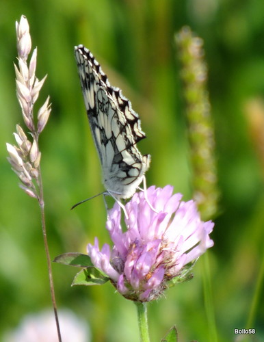 Marbled White Butterfly - near Fremington Quay