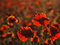 A few poppies (dunne_s) Tags: sunrise poppy poppies second backlighting
