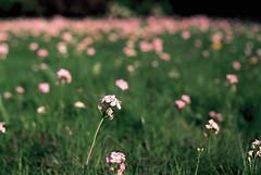 pink (erik.drost) Tags: flowers garden spring nikon slidefilm polarizer nikonf3 2014 velvia50 nikkor5014 nikkor5014ais