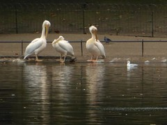 Trio (JuliaC2006) Tags: pelicans birds lake london stjamespark