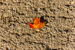 One Left (rumimume) Tags: potd rumimume 2016 niagara ontario canada photo canon 550d t2i sigma fall autumn outdoor leaf leaves red yellow concrete