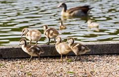 Ganzekuikens (Omroep Zeeland) Tags: kuikens nijlgans kleintjes donzig vijver nollenbos zwemmen