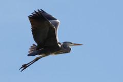 _F0A9149.jpg (Kico Lopez) Tags: ardeacinerea galicia garzareal lugo mio spain aves birds rio mio