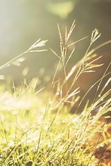 Fields of Gold (Acqua di Gioia) Tags: yellow sunset color nature sun light lights beautiful gold golden orange glass luminous happybokehwednesday hbw dof depthoffield