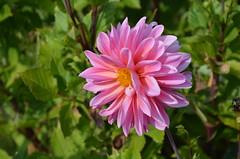 DSC_5981 (aktarian) Tags: rože flower flowers cvetovi cvet cvetenje bloom