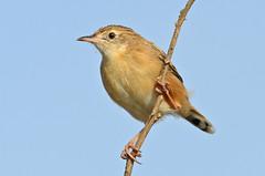 Fuinha dos juncos - Fan tailed warbler - Cisticola juncidis (Yako36) Tags: portugal peniche ferrel ave bird birdwatching nature natureza tc14e nikonafs300f4 nikond7000