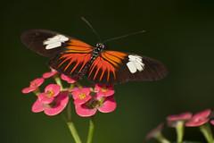 Doris Longwing (Laparus doris) (uncle.dee9600) Tags: dorislongwing laparusdoris butterfly tropicalbutterfly nikond90