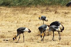 Crowned Crane (Nicolas Bousquet) Tags: safari gamedrive tanzania tanzanie ngorongoro savane savana da55300 pentaxk3 crane crownedcrane
