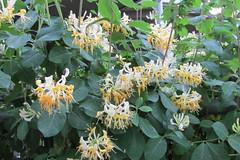Honeysuckle (Stabbur's Master) Tags: flowers blooms honeysuckle blossoms