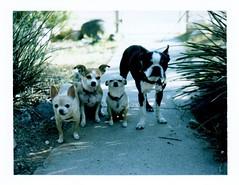 polaroid week pup portrait (EllenJo) Tags: polaroidpathfinder fujifp100c f56 160 yard home dogs pets floyd ivan hazel simon chihuahua chiweenie bostonterrier ellenjoroberts ellenjo landcamera convertedpathfinder fujiinstantfilm instantfilm roidweek 2016 october21 littledoglaughedstories