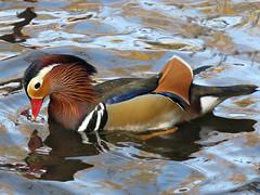 I swear to you, there are divine things more beautiful than words can tell..... Walt Whitman (Laura Rowan) Tags: duck kelloggbirdsanctuary mandarinduck fall autum