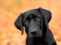 autumn (uwe.kast) Tags: labrador labradorretriever labradorredriver welpe puppy hund dog nikon nikond3 d3 bokeh herbst autumn