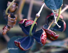 Back View (haidarism (Ahmed Alhaidari)) Tags: nature red green fruit bud plant bokeh outdoor depthoffield sonya65 macro macrophotography leaf ngc