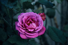 Poetry in the Morning (Jaymi Britten) Tags: roses pink violet feminine beauty nature pinkrose life petals rosepetals environment earth planet planetearth bloom inbloom beautiful growth love romance inlove delicate