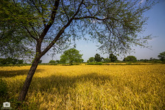 The golden fields of paddy (Satyajeet Sahu) Tags: village chhattisgarh landscape wideangle paddyfields crops canoneos600d nature