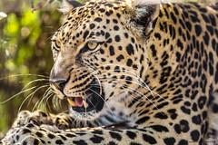 Lopard I (Nona P.) Tags: safari lopard flin animal afriquedusud photography canon nonap