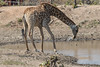 27-South_Africa-2016 (Beverly Houwing) Tags: krugerpark phalaborwha southafrica giraffe drink wateringhole mouth spill splash stream