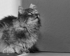 Between light and shadow (FocusPocus Photography) Tags: fynn fynnegan katze kater cat chat gato tier animal haustier pet sw bw mono