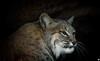 I Don't Like Mondays (ELAINE'S PHOTOGRAPHS) Tags: bobcats felines cats bigcats animals wildlife nature
