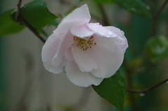 Rain in the sunny California Valley. (Traveling with Simone) Tags: california roses rain fall blossom plant outdoor flower wet automne