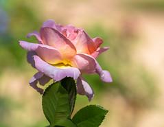 Pink Rose_MG_0196 (918monty) Tags: rose dallas texas dallasarboretumbotanicalgardens bokeh tamron70200f28lens pinkrose sunletroses autumnrose flowersallkinds excellentflowers bokehgroup flowerthemes
