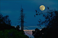 How Great Thou Art #7327 (Christina's World aka Chrissie Bee) Tags: moon fullmoon supermoon november 2016 landscape creative trees night evening dusk