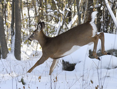 White-tailed Deer (hd.niel) Tags: whitetailed deer doe nature