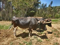 #Buey #toro #maiz #siembra #paisaje #fotografia #motog3 (villanojuan) Tags: siembra paisaje maiz motog3 fotografia toro buey