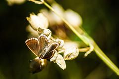 antennae to find ambrosia (LiterallyPhotography) Tags: schmetterling butterfly natur nature plant bokeh macro schweiz wallis baltschiedertal rhonetal flgel wings