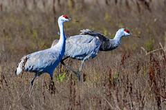"Sandhill_Cranes_01 (DonBantumPhotography.com) Tags: wildlife nature animals birds sandhillcranes ""donbantumphotographycom"" ""donbantumcom"" ""nikon d7200"" ""afs nikkor 200500mm f56e ed vr"""