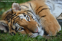 Bengal tigress Rani - Olmense Zoo (Mandenno photography) Tags: dierenpark dierentuin animal animals dieren tiger tijger tigers tijgers rani olmense olmensezoo olmen belgie belgium bigcat big cat bengal bengaalse