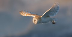 Barn Owl (2 of 3) (KHR Images) Tags: barnowl barn owl tytoalba wild bird birdofprey closeup inflight hunting flying sunshine sunlight morning frosty cambridgeshire fens fenland eastanglia wildlife nature nikon d7100 kevinrobson khrimages