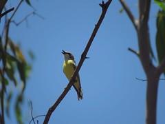 Gerygone albogularis 2 (barryaceae) Tags: barraba nsw australia ausbird ausbirds gerygone olivacea whitethroated plumthornetravellingstockreserve