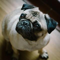 Heitu-00071 (kiddfei2012) Tags: pug dog pet puppy