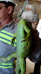 IMG_20151209_145051 (estradelirius) Tags: iguana garrobo