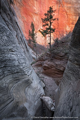Checkerboard Canyon (David Swindler (ActionPhotoTours.com)) Tags: zion checkerboardcanyon tree zionnationalpark slotcanyon utah canyon