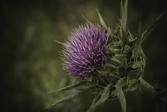 thistle.. (ckollias) Tags: beautyinnature blossom closeup day flower flowerhead fragility freshness growth nature nopeople outdoors pink plant thistle wildflower