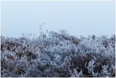 heather (HP019850) (Hetwie) Tags: natuur frost ijs heather nachtvorst ice zonsopkomst kou rijp nature sunrise ochtend strabrechtseheide strabrecht frozen vorst heide lierop noordbrabant nederland