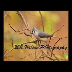 tufted titmouse (wildlifephotonj) Tags: tuftedtitmouse wildlifephotographynj naturephotographynj wildlifephotography wildlife nature naturephotography wildlifephotos naturephotos natureprints birds bird