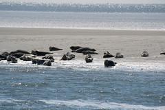 _DSC2027 (Anja 1612) Tags: meer nordsee robben sandbank