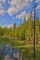 Nature's Meditation (Keeperofthezoo) Tags: park trees canada calgary water clouds forest reflections pond bluesky deadtree alberta fishcreekpark reflectiononwater fishcreekprovincialpark