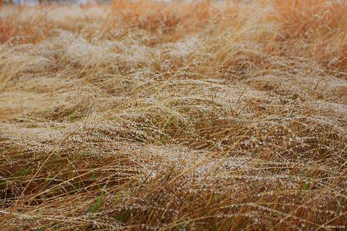 Photo - Early morning dew weighs down prairie grasses near Bobolink Trailhead.